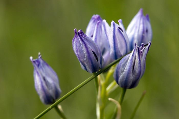 Fleur de montagne dans les Pyrénées