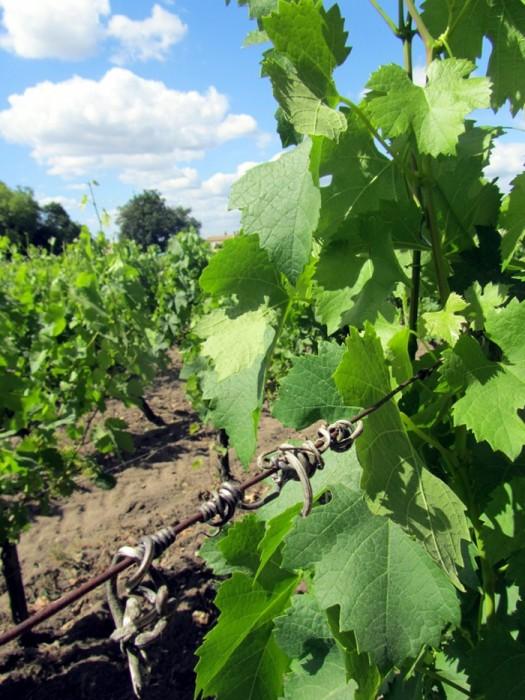 Feuilles de vignes de St Emilion
