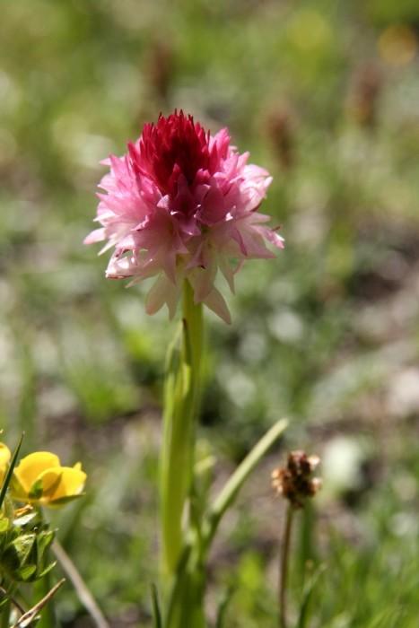 Fleur des Alpes