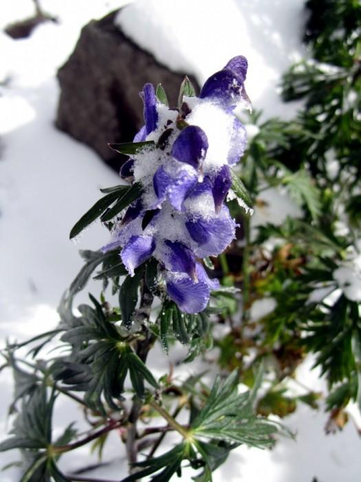 Aconit Nappel fleur dans les Pyrénées