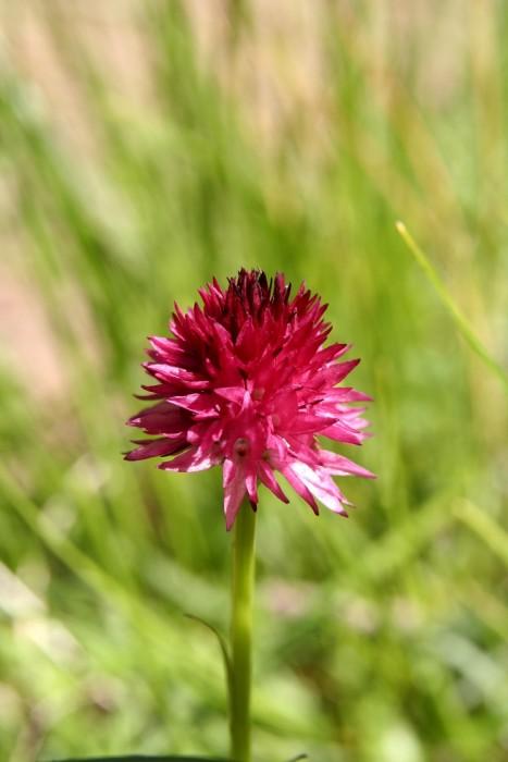 Nigritelle rose dans les Alpes