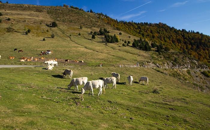 Vaches au col d'Aspin dans les Pyrénées