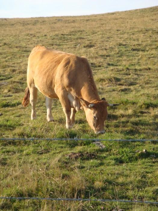 Vache sur l'Aubrac dans la prairie Aveyronnaise