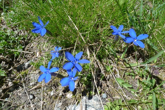 Fleurs dans les Alpes près du refuge du Glacier Blanc