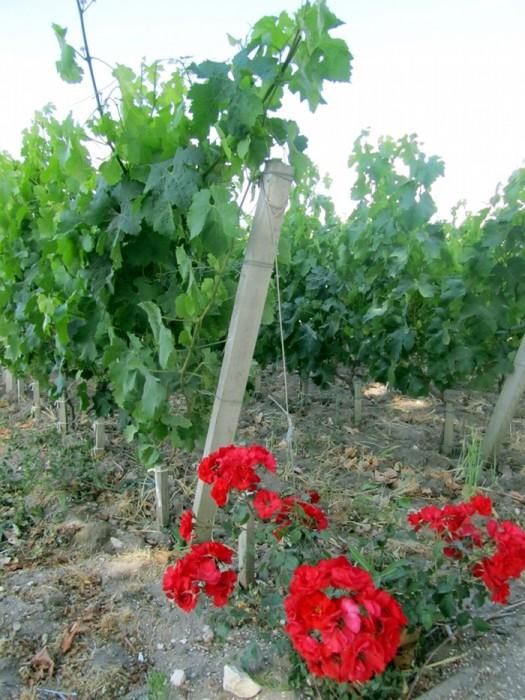 Dans les vignes de Saint Emilion en Gironde