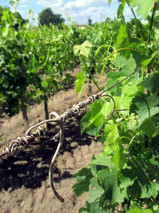 Dans la vigne de Saint Emilion