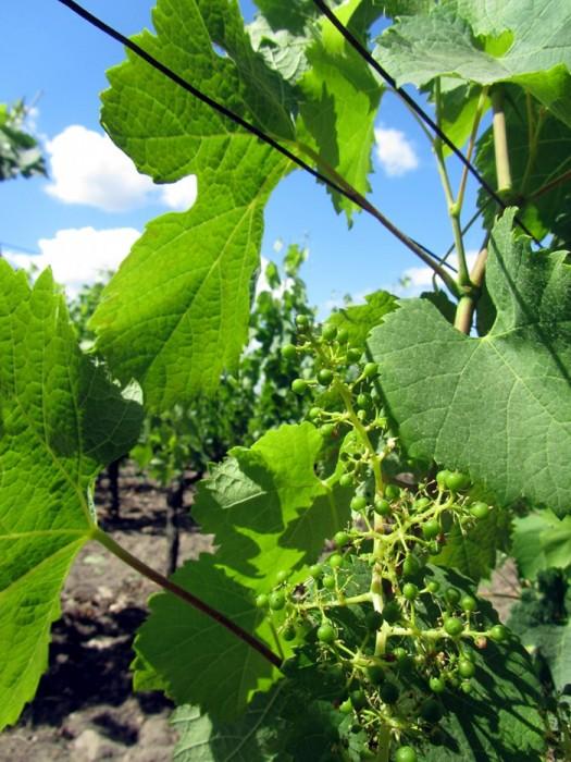 Feuilles de vignes de St Emillion en Gironde
