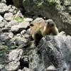 Marmotte curieuse, au Lac du Lauvitel