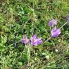 Mes fleurs préférées, Aubrac