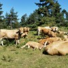 Troupeau de vaches d'Aubrac