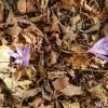 Colchiques et feuilles d'automne