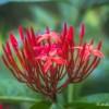 Jolie fleur dans le jardin de Deshaies
