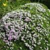 Parterre de fleurs roses sur mousse verte
