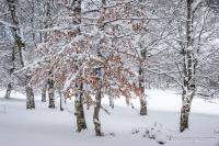 Arbres pleins de neige