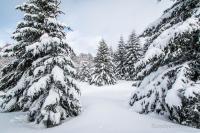 Encore des sapins sous la neige