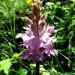 Fleur des Pyrénées Orchis