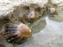 Coquillages à marrée basse sur la plage de Guéthary
