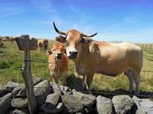 Vaches Aubrac et le troupeau derrière