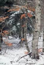 Neige, arbres et feuilles