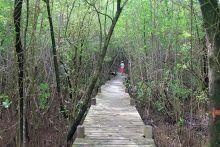 Randonnée dans la mangrove depuis l'Anse du Souffleur