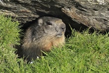 La marmotte est un animal curieux