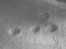 traces de lapin