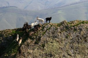 Chèvres au pic d'Irau