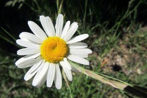 Marguerite des près en Aveyron lors de la randonnée
