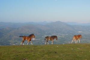 Pottok au Pays Basque, sur la rando