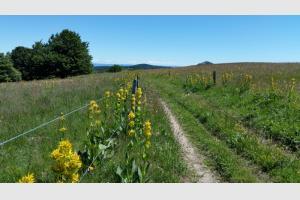 Chemin bordé de fleurs de gentianes