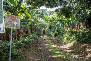 On marche dans une bananeraie
