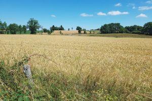 Les jolis champs de blé à perte de vue