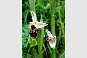 Ophrys becasse Orchidacée terrestre européenne