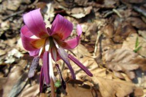 Fleur des sous bois, randonnée à Ampiac