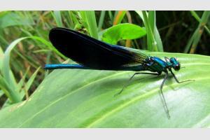 Libellule bleue lors de la randonnée sur Aubrac