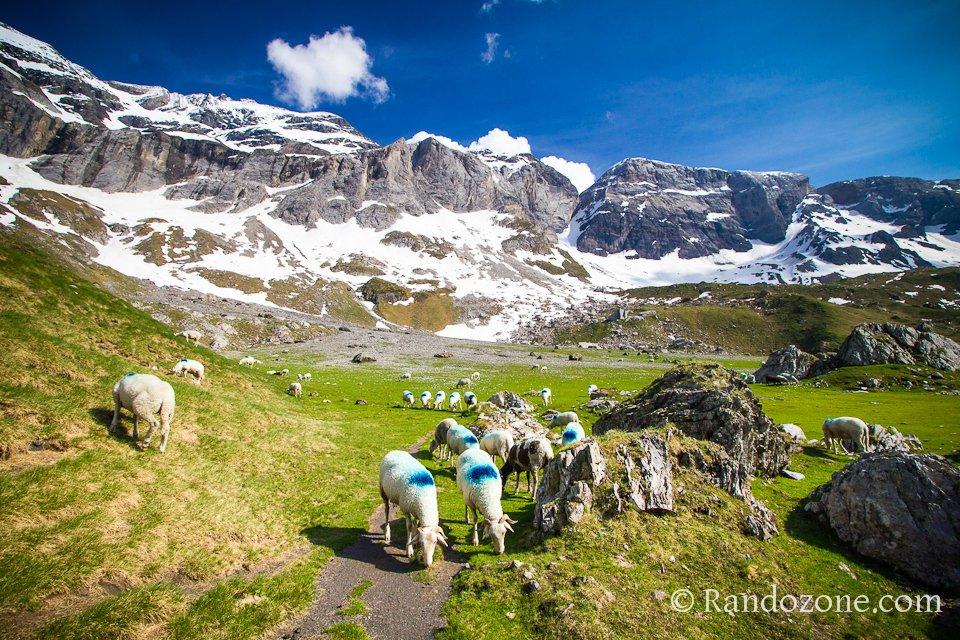 Les moutons de Troumouse