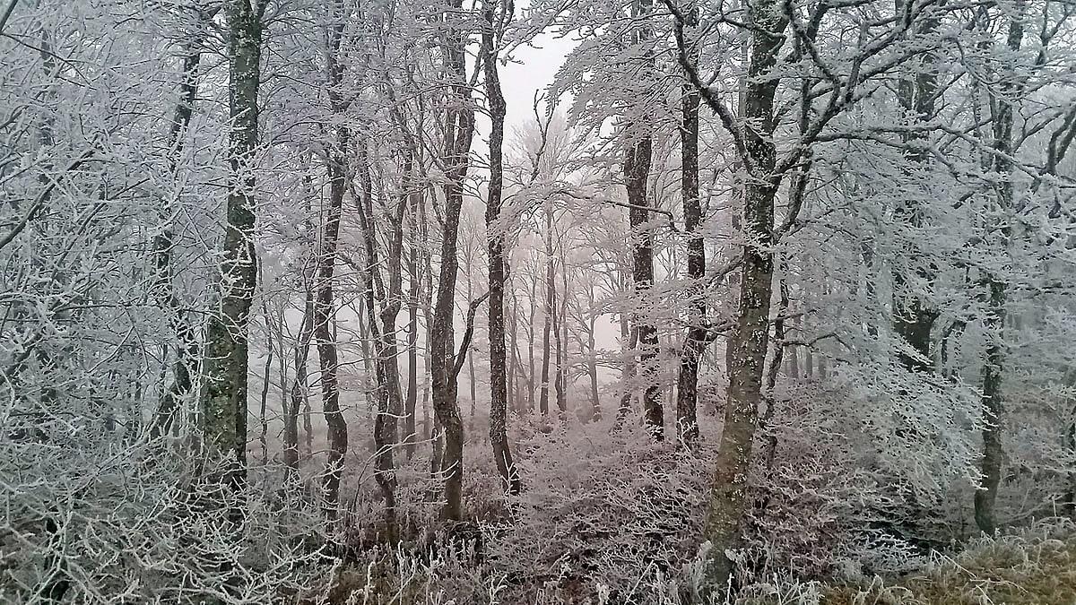Dans la forêt domaniale d'Aubrac