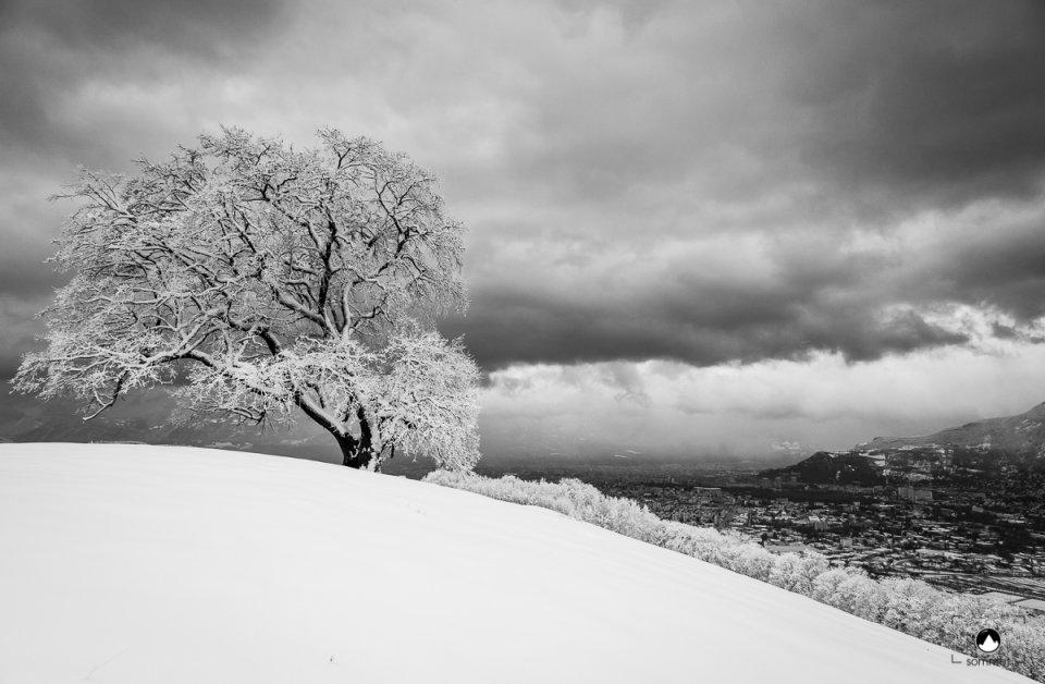 Chêne de Venon sous la neige