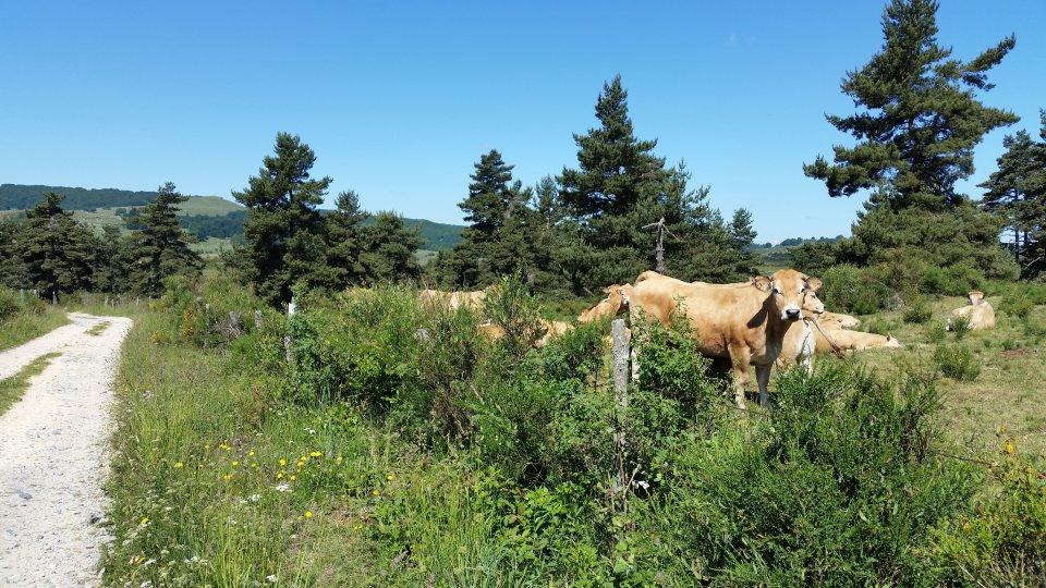 Les belles vaches d'Aubrac