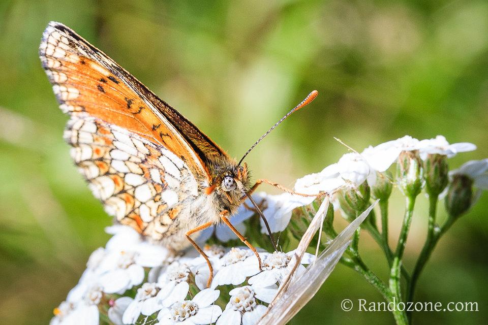 Papillon dans les Pyrénées