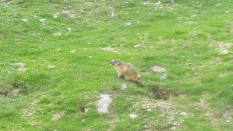 Les belles marmottes des Pyrénées sont de retour :)