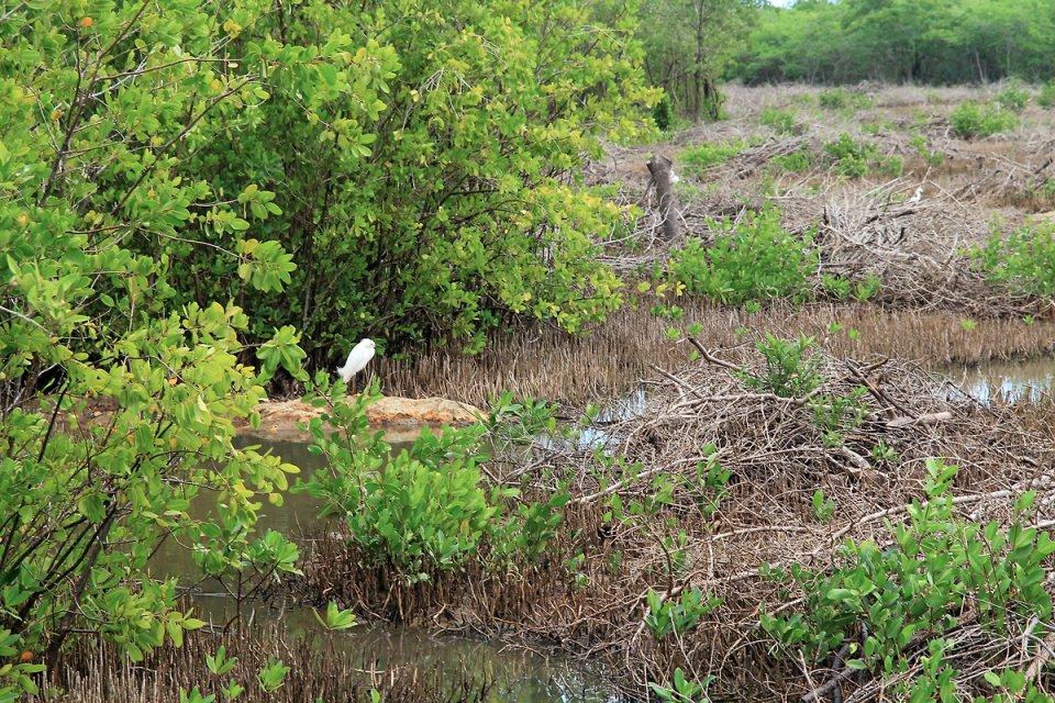 Héron garde-boeuf dans le marais