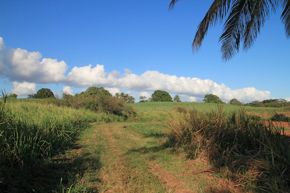Entre champs de canne à sucre