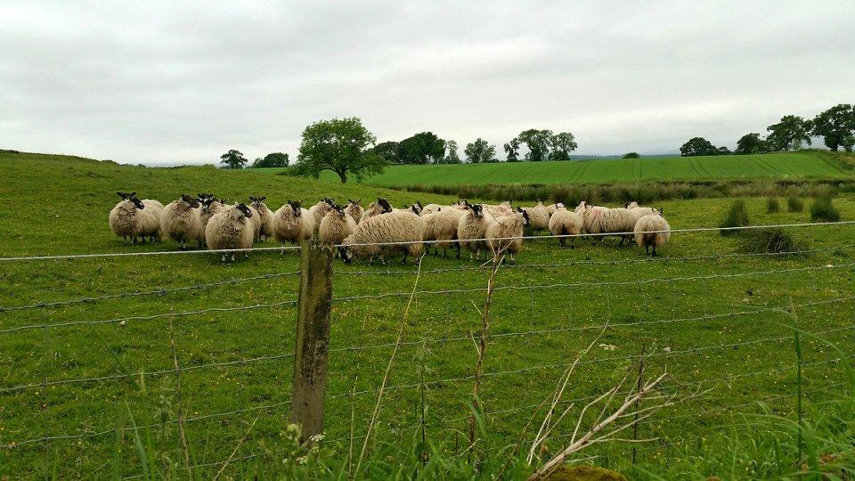 Dans un champs les moutons écossais