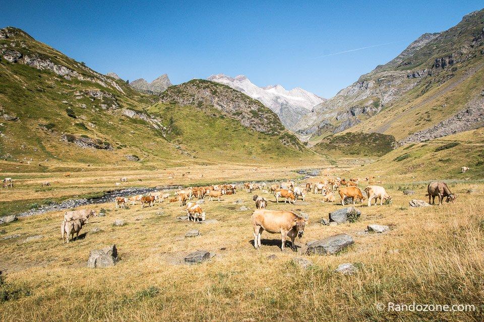 Un cadre sympa pour les vaches
