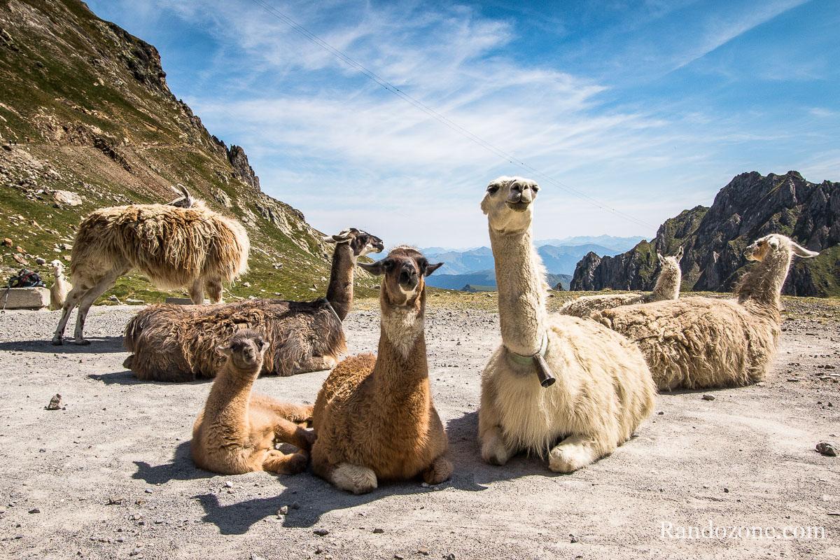 Les lamas au col de Sencours
