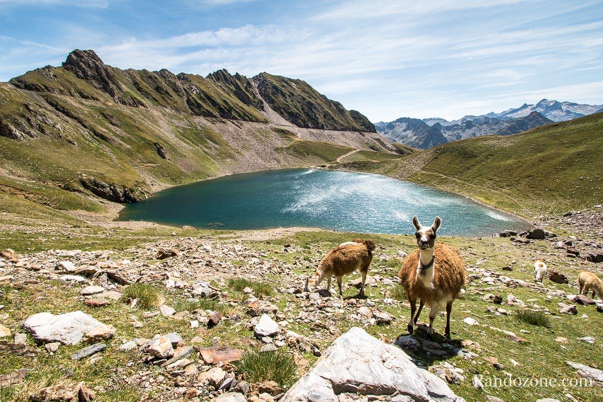 Lamas devant le lac d'Oncet