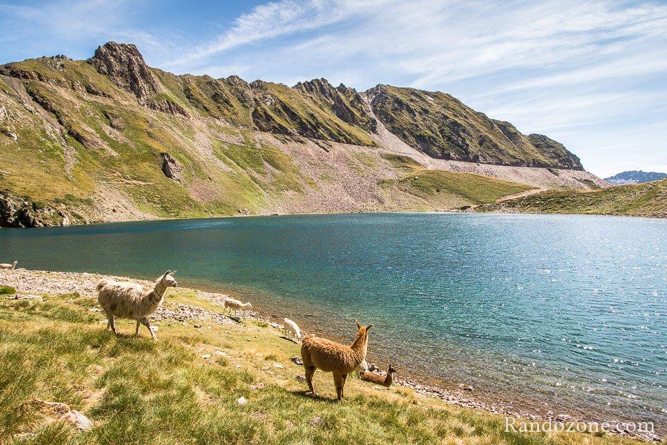 Encore des lamas
